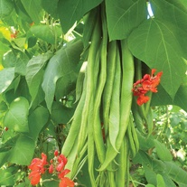 Runner Bean Firestorm AGM Plants