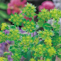 Bupleurum rotundifolium Leprechaun Gold Seeds