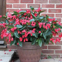 Begonia Dragon Wings Seeds