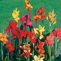 Canna Large Flowered Mixed Seeds
