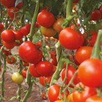 Tomato (Standard) Tasha F1 Seeds