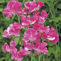 Sweet Pea Robert Uvedale Seeds