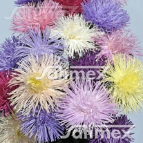 Aster Valkyrie Mixed Seeds