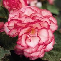 Begonia Nonstop Rose Petticoat F1 Seeds