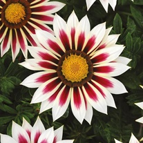 Gazania New Day Rose Stripe F1 Seeds
