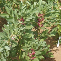 Broad Bean Crimson Flowered Seeds