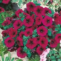 Petunia Mirage Velvet F1 Seeds