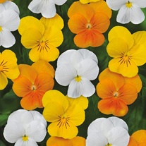 Viola Sorbet Citrus Mixed XP F1 Seeds