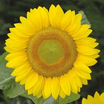 Sunflower Summer Breeze Seeds
