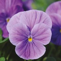 Viola Sorbet Lavender Vein XP F1 Seeds