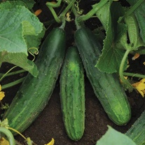 Cucumber Patio Snacker F1 Seeds