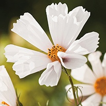 Cosmos Hummingbird White Seeds