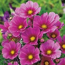 Cosmos Tetra Versailles Dark Rose Seeds