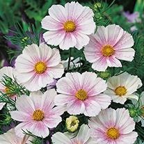 Cosmos Tetra Versailles Flush Seeds