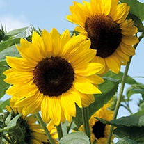 Sunflower Soleo F1 Seeds