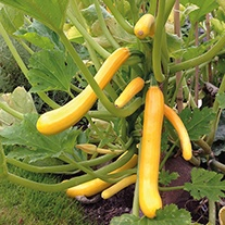 Courgette Shooting Star F1 Vegetable Seeds