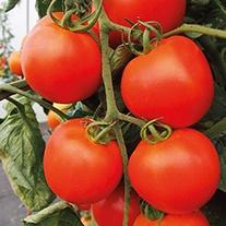 Tomato Akron F1 Seeds