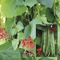 Runner Bean Firelight Plants