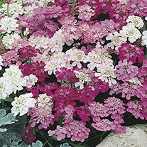 Candytuft Fairy Mix Pot Toppers