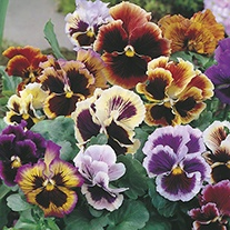 Pansy Rococo Mix Pot Toppers