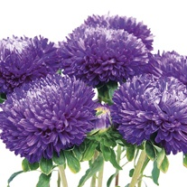 Aster Balloon Blue Seeds