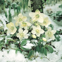Hellebore Christmas Rose Seeds