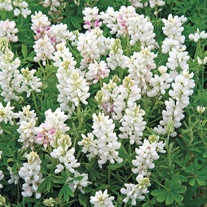 Lupin Snow Pixie Seeds