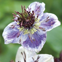 Nigella Delft Blue Seeds
