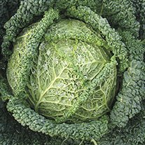 Cabbage Spinel F1 Seeds