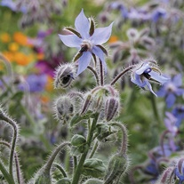 Borage Blue Seeds