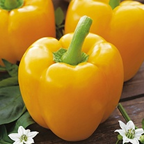 Sweet Pepper Yellow Bell Plants
