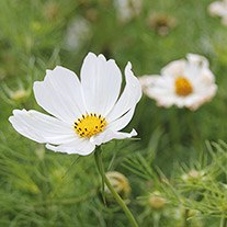 Cosmos Purity Seeds