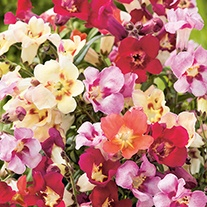 Antirrhinum Antiquity F1 Seeds