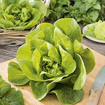Lettuce Gustav's Salad Seeds