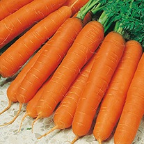 Get Growing Carrot Large - Jitka F1 Seeds