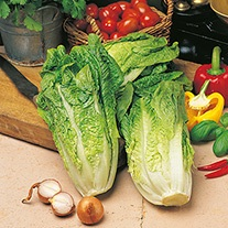 Get Growing Lettuce - Tantan Seeds