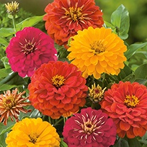 Zinnia Solmar Mixed F1 Seeds