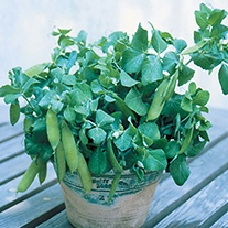 Pea Half Pint (Tom Thumb) Seeds