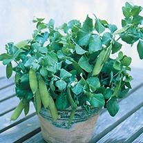 Pea Half Pint (Tom Thumb) Seeds