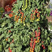 Tomato Sugar Gloss F1 Seeds