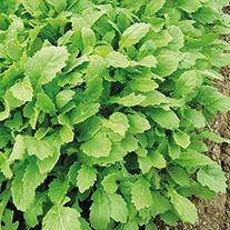Rocket Wasabi Seeds