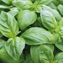 Basil Pesto Seeds