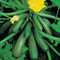 Courgette Tuscany F1 Vegetable Seeds