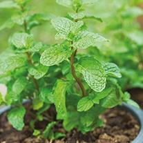 Mint Spearmint Seeds