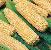 Sweet Corn Honey Bantam Bicolor Seeds