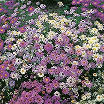 Swan River Daisy Splendour Mixture Seeds