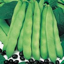 Dwarf Bean Coco Noir Starazagorski Seeds