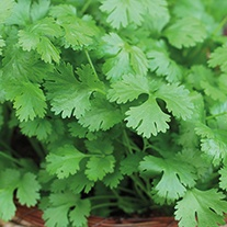 Coriander Cilantro for Leaf Seeds
