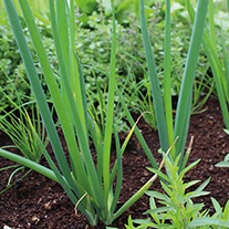 Welsh Onion Japanese Leek Seeds