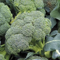 Broccoli (Autumn) Covina